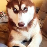 Inuk (Husky Siberiano)
