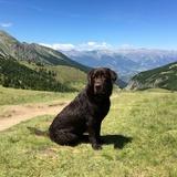 Ipsy (Labrador Retriever)