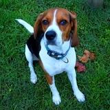 Blau - Beagle