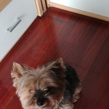 Gusy (Yorkshire Terrier)