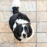 Angie - Border Collie