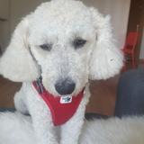 Coco (Caniche)
