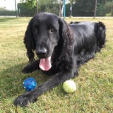 Django (Flat Coated Retriever)