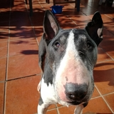Mr.Speed (Bull Terrier)