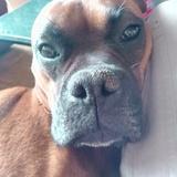 Jazzy (Boxer)