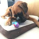 Molly (Boxer)