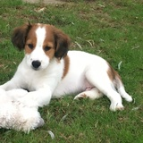 Snoopy (Kooiker Hound)