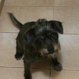 Mika (Border Terrier)