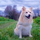Bjarki  (Islandhund)