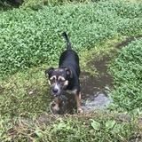 Roxy (Rottweiler)