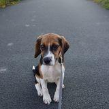 Nugget - Beagle