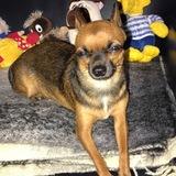 Alicia (Chihuahua)