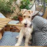 Stela (Fox Terrier De Pelo Duro)