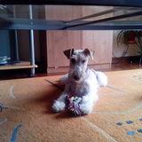 Lurra - Fox Terrier De Pelo Duro