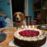 Charlie (Beagle)