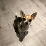 Trufa (Chihuahua)
