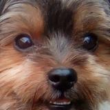Barney (Yorkshire Terrier)