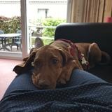 Lara  (Kurzhaariger Ungarischer Vorstehhund)