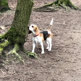 Bella (Beagle)