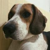 Neddy (Beagle)