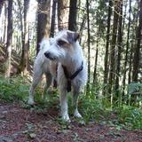 Irmi (Parson Russell Terrier)