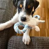 Sammy (Parson Russell Terrier)