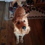 Marvin (Irish Terrier)
