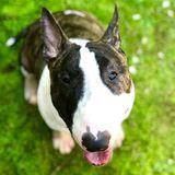 Odin - Bull Terrier
