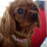 Ruby (Cavalier King Charles Spaniel)