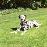 Daisy (Dalmatian)