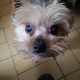 Lucas - Yorkshire Terrier