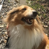 Jane (Sheltie)