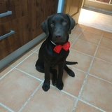 Brownie - Labrador Retriever