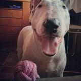 Thysson (Bull Terrier)