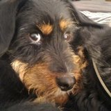 Elixx (Terrier De Chasse Allemand)