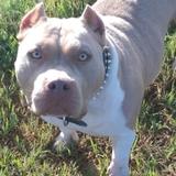 Goa - Bulldog Americano