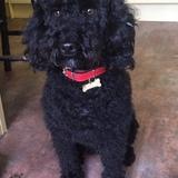 Dylan (Poodle Miniature)