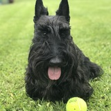 Sira - Scottish Terrier