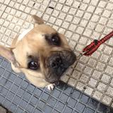 Kuko - Bulldog Francés