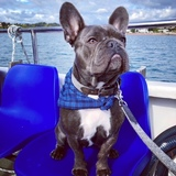 Stanley - French Bulldog