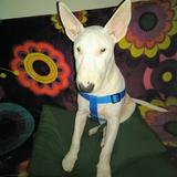 Troy (Bull Terrier)