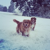 Chako (Nova Scotia Duck Tolling Retriever)