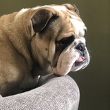 Buster  (English Bulldog)
