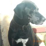 Kiara (Perro Pastor Mallorquín)