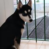 Leia (Siberian Husky)