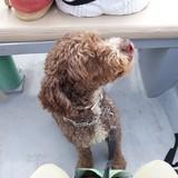 Cuco - Perro De Aguas Francés