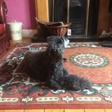 Barney - Kerry Blue Terrier