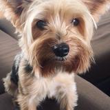 Duke (Yorkshire Terrier)