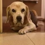 Kira (Beagle)
