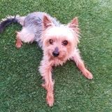 Coco - Yorkshire Terrier